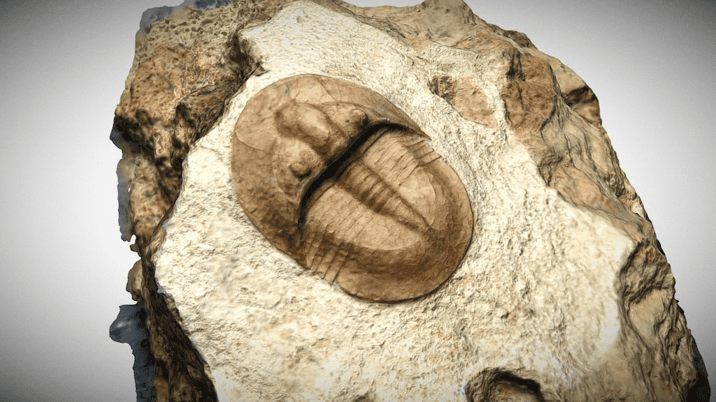 Sketchfab category - animals - trilobyte fossil